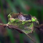Rurrenabaque Kolibrie jong