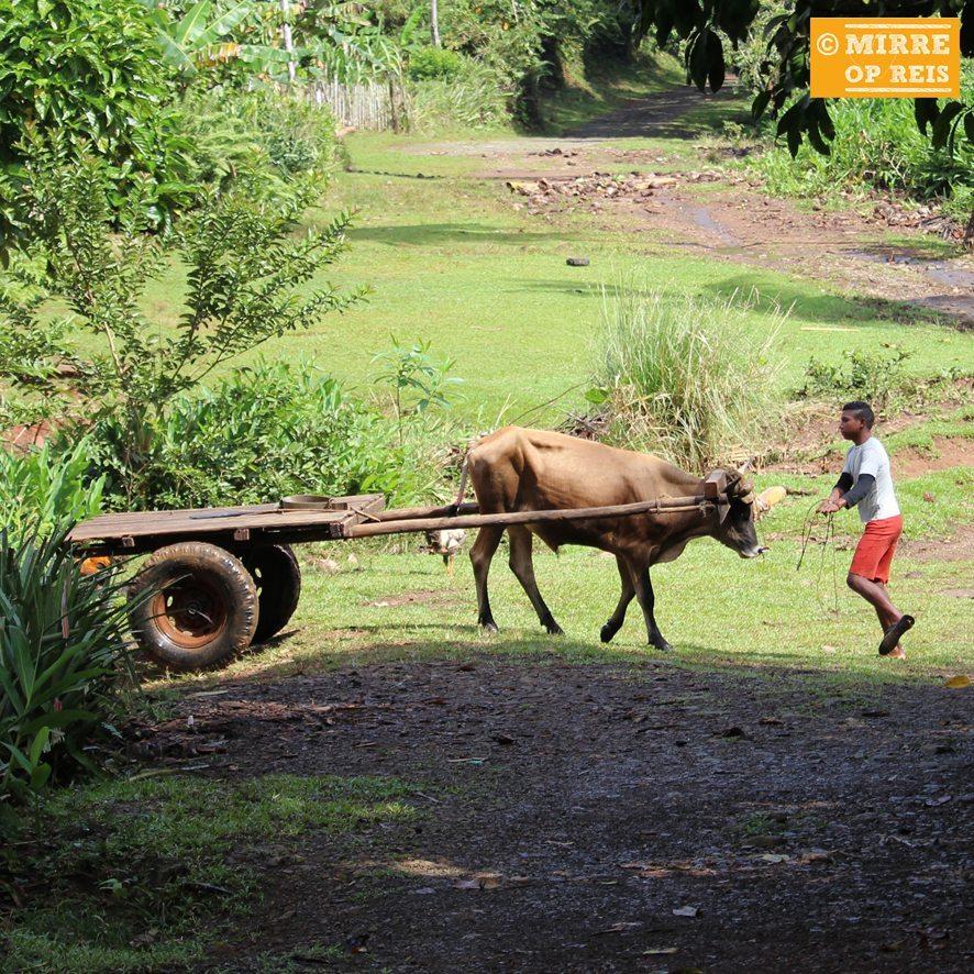Cuba blog: Koeienkar Baracoa