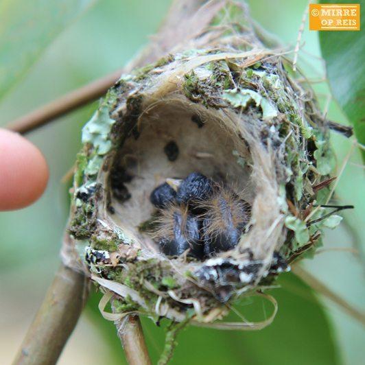 Cuba blog Zunzuncito, kleinste vogeltje ter wereld