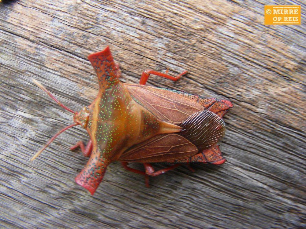 Borneo insect-3