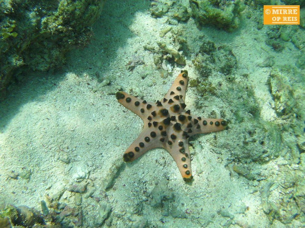 Borneo zeester-3
