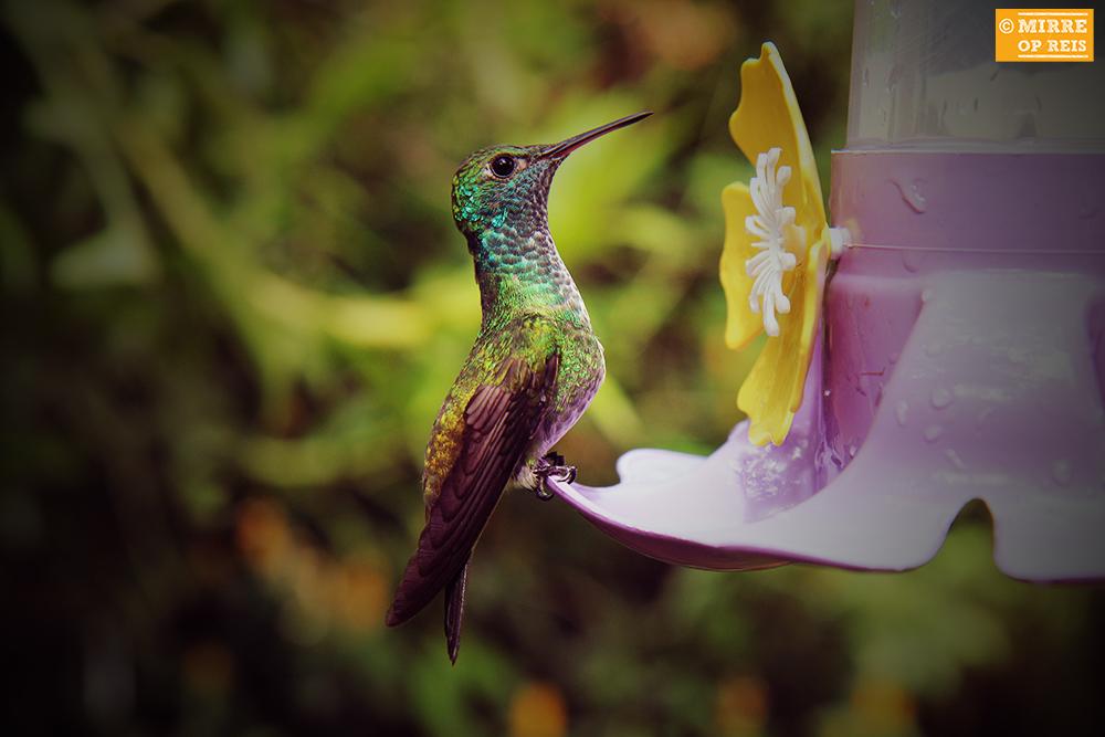 Iguazu kolibries 001