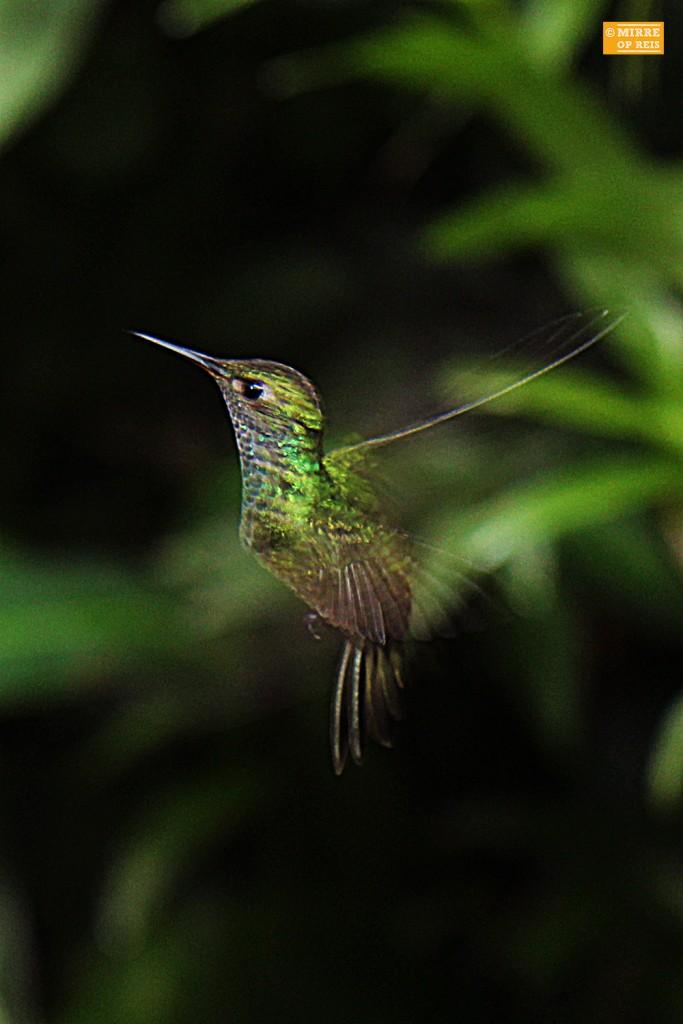 Iguazu kolibrie 002