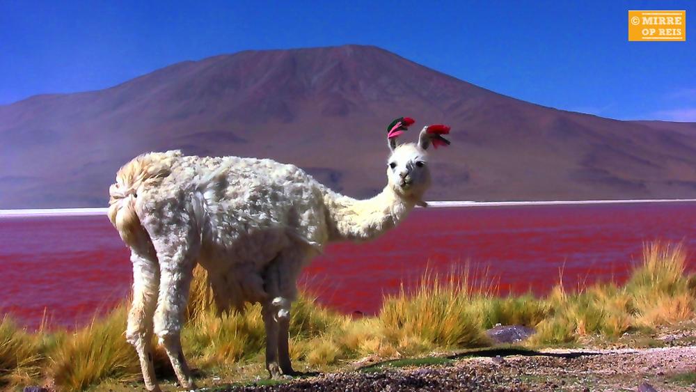 Salar de Uyuni - Lama