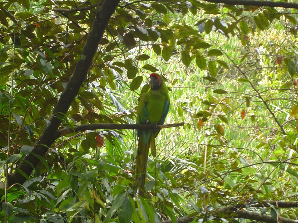 Costa Rica 005 Groenvleugel ara