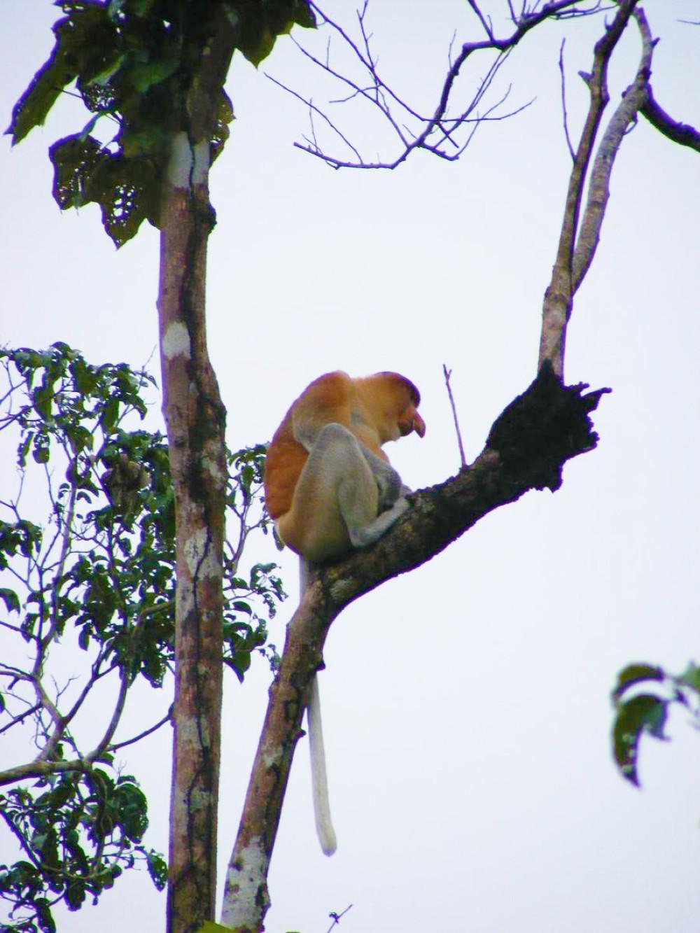 Neusaap Borneo-420
