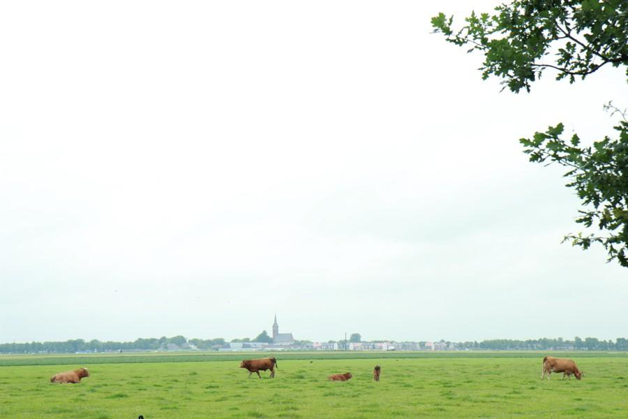 fietsen Purmerend - koeien weiland beemster-009