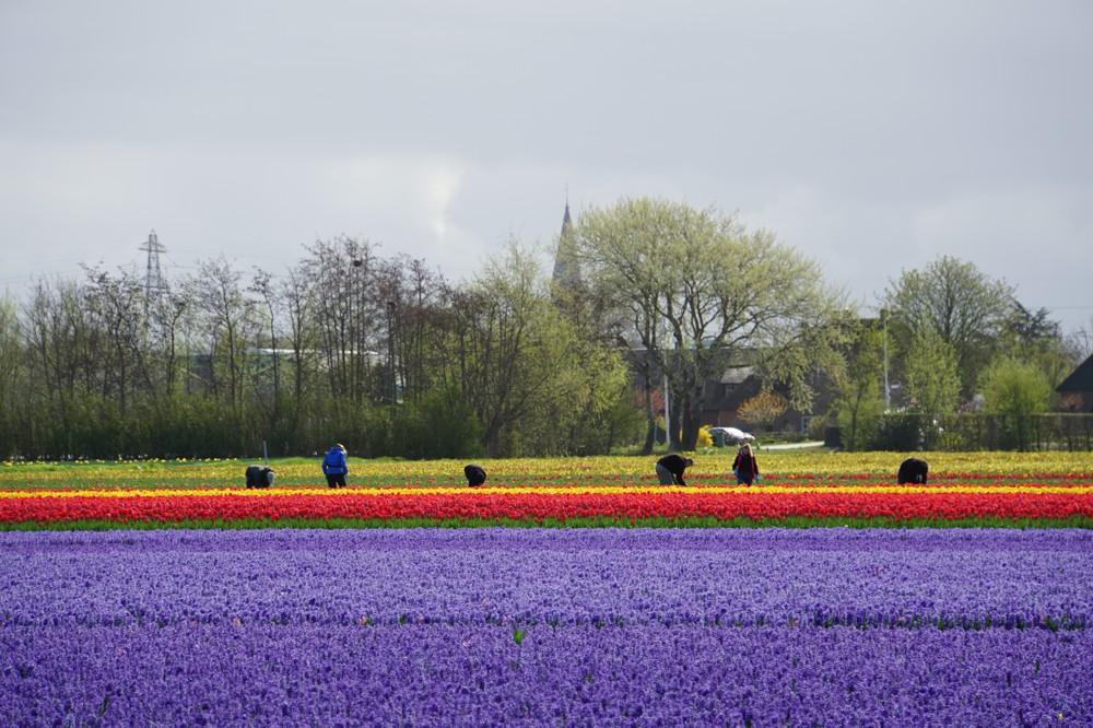Tulpenvelden Lisse 008