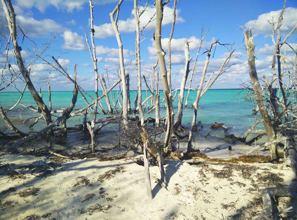 Mangrovebos op Cayo Levisa, Cuba