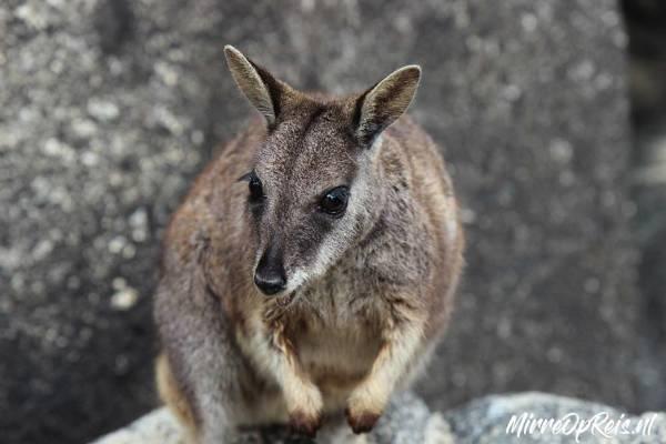 Wallaby Australië 2