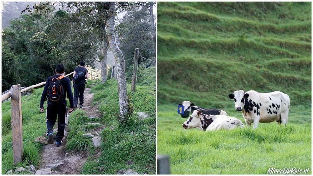 Salento Colombia koeien col 010