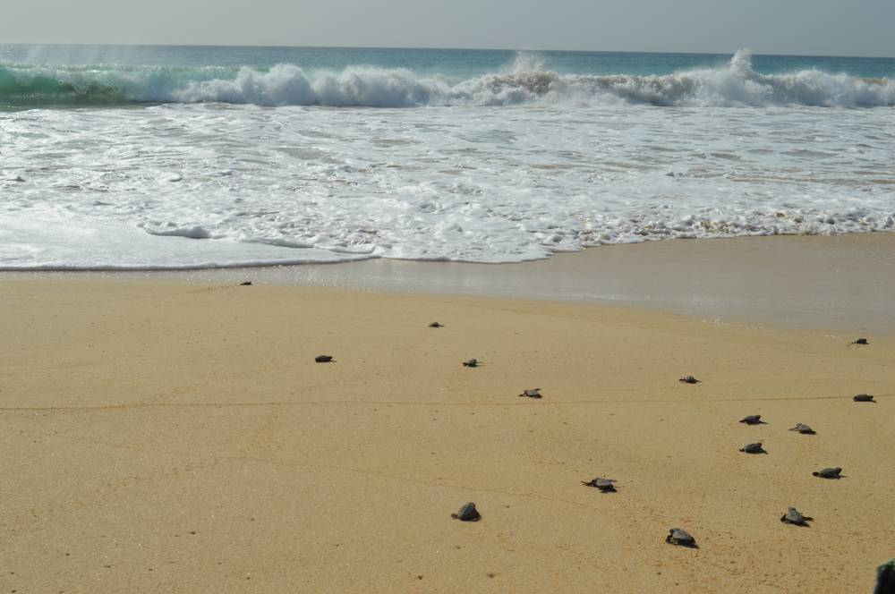 Boa Vista Schildpadden 002