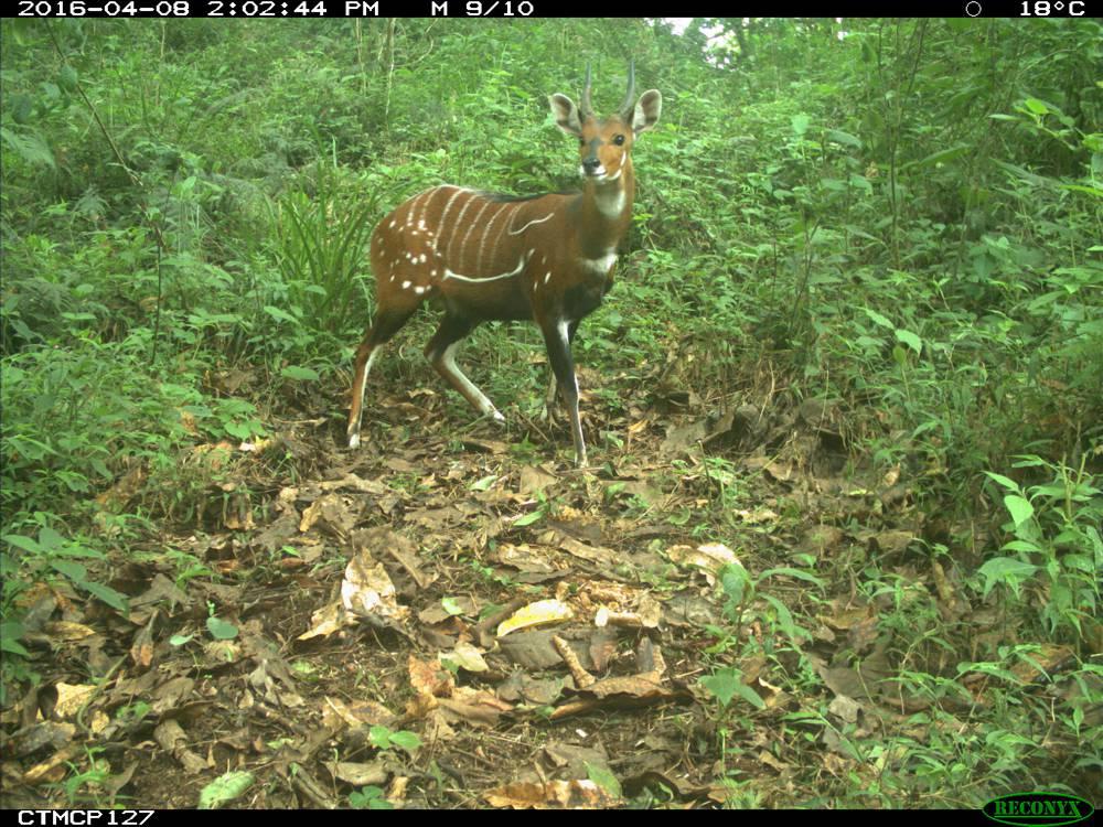 Kameroen – bushbuck in Mount Cameroon (copyright PSMNR)