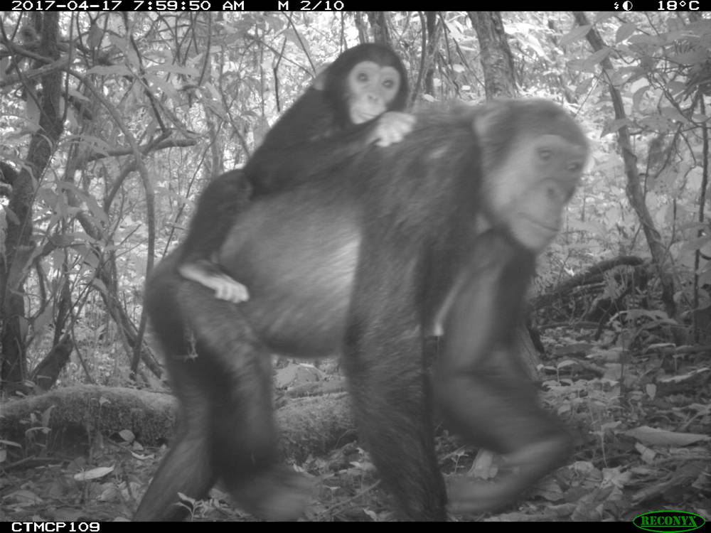 Kameroen – chimpansee in Mount Cameroon (copyright PSMNR)