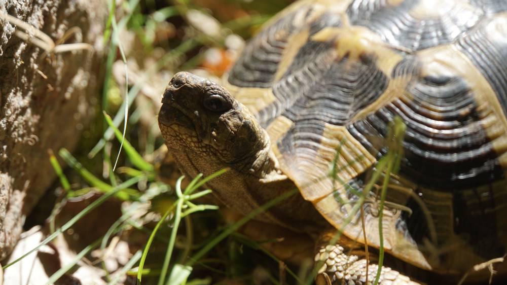 Landschildpadden in Meteora M237