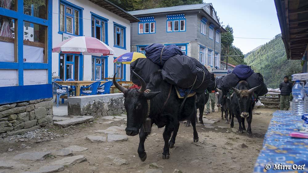 Nepal-156-yaks-in-phakding-2